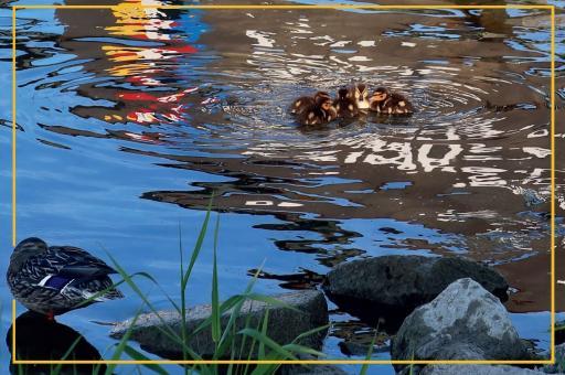 Entenkinder im letzten Sonnenlicht am Rheinufer von Mainz