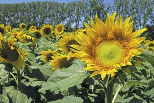 Sonnenblumen in Rheinhessen