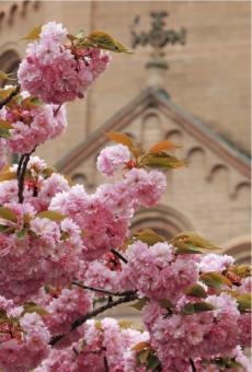 Kirschblüten vor der Ostfassade des Doms zu Mainz