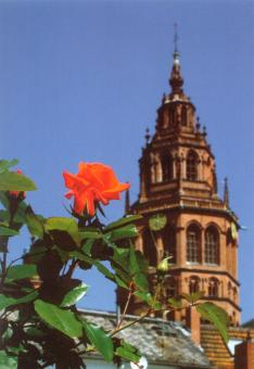 Rose St. Boniface vor dem Westturm des Mainzer Doms